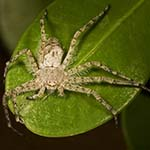 Philodromus_infuscatus_Point_Loma_4305.jpg